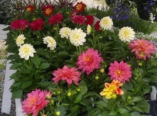 red, white, pink and yellow potted plants with green foliage