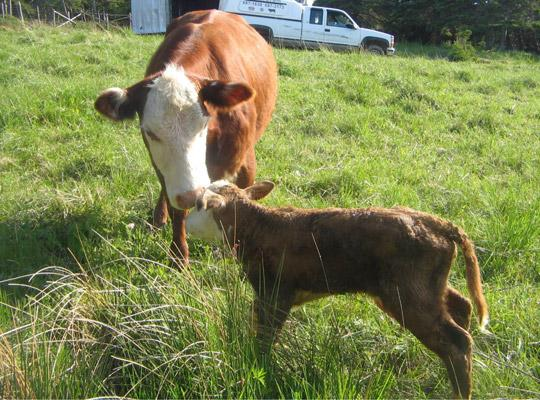 a bigger cow and a small calf touching noses