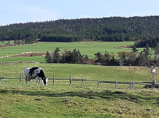 a cow in a green field near a wooden farm fence under a blue sky, Goulds NL
