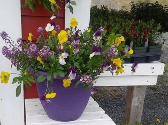 yellow, purple and white flowers with green foliage in a purple planter on a white bench