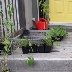 let's grow - container gardening in St. John's