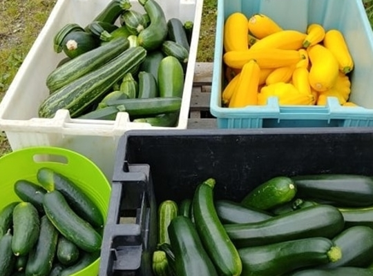 green and yellow harvested squash in tubs