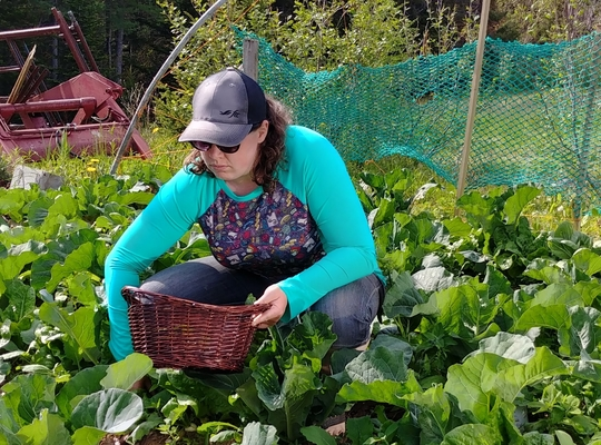 woman with a basket  harvesting a field of cabbages